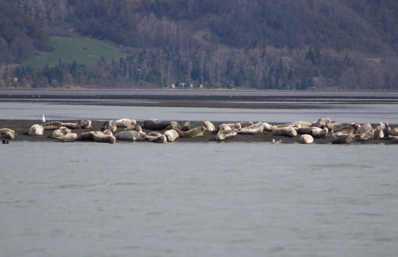 Harbor Seals at the Head of Bay in mid May