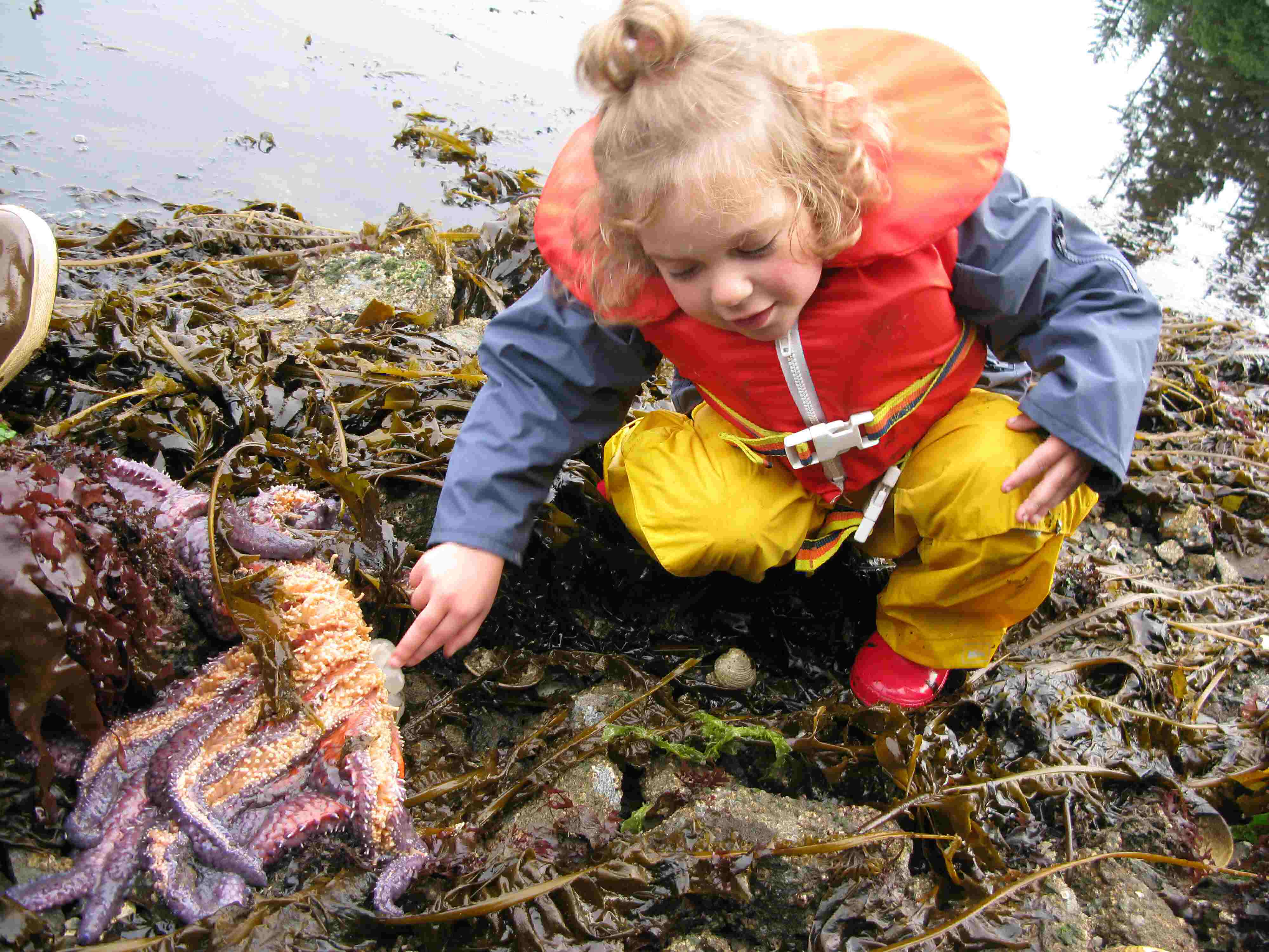 Kachemak Bay tidepool discovery tour, observing the stomach of starfish
