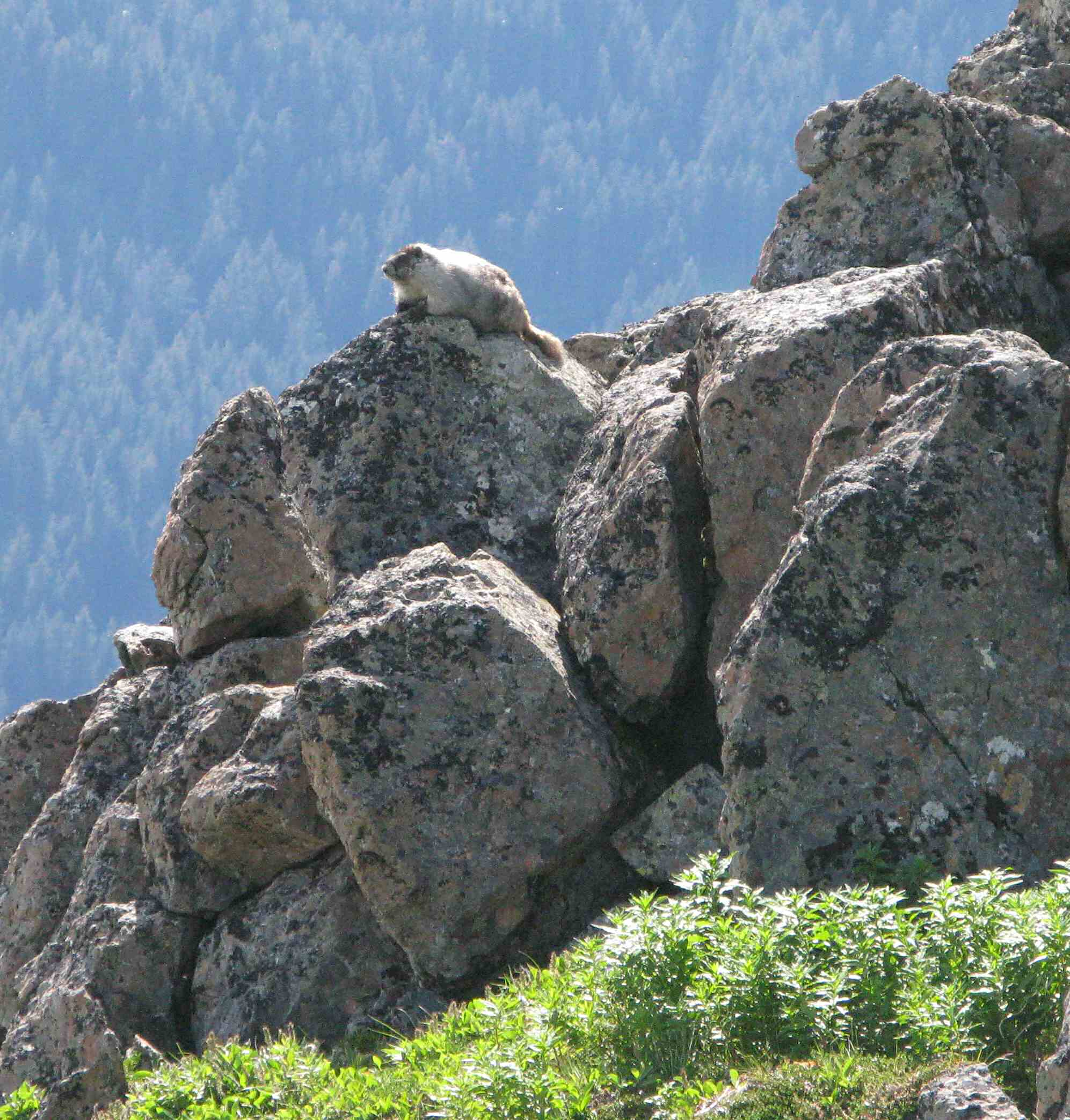 View and photograph wildlife -- a hoary marmot -- in their natural habitat.